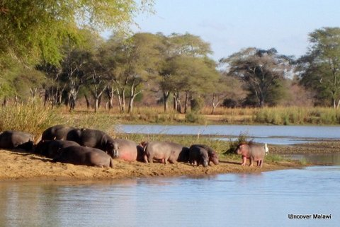 Young hippo and family at Vwaza Marsh Wildlife Reserve